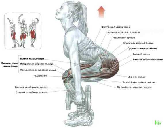 схема ягодичных мышц